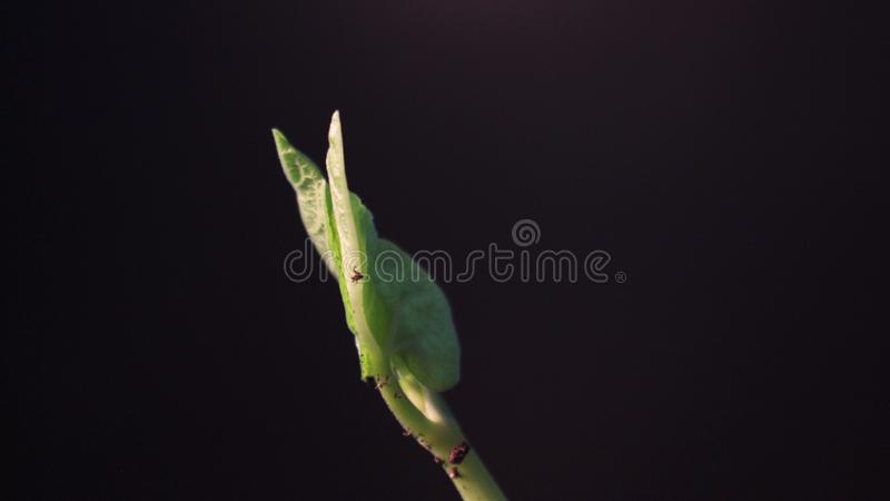 Bean Sprout germinating. Isolated on black background. Spring time lapse. Growing plant. Bean Sprout germinating on black background. Spring time lapse. Growing stock photo