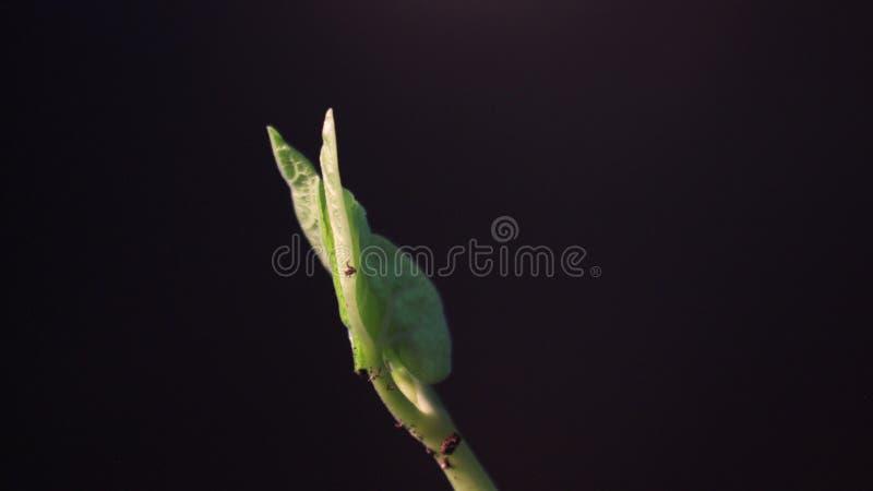 Bean Sprout-het ontkiemen Geïsoleerde op zwarte achtergrond De tijdspanne van de de lentetijd Groeiende Installatie stock foto