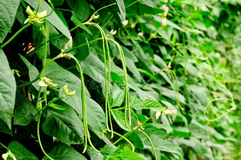 Download Beans stock image. Image of farmland, courtyard, plantation - 26444105