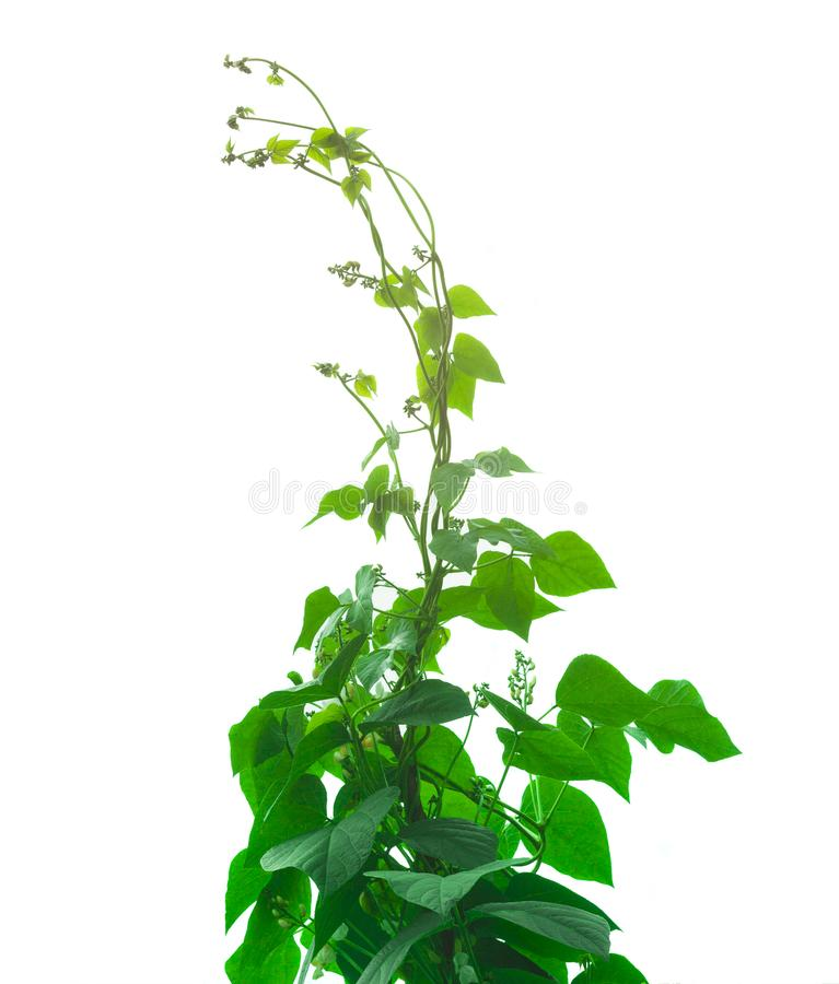 Beans plant and leaf isolated. On white background royalty free stock photos