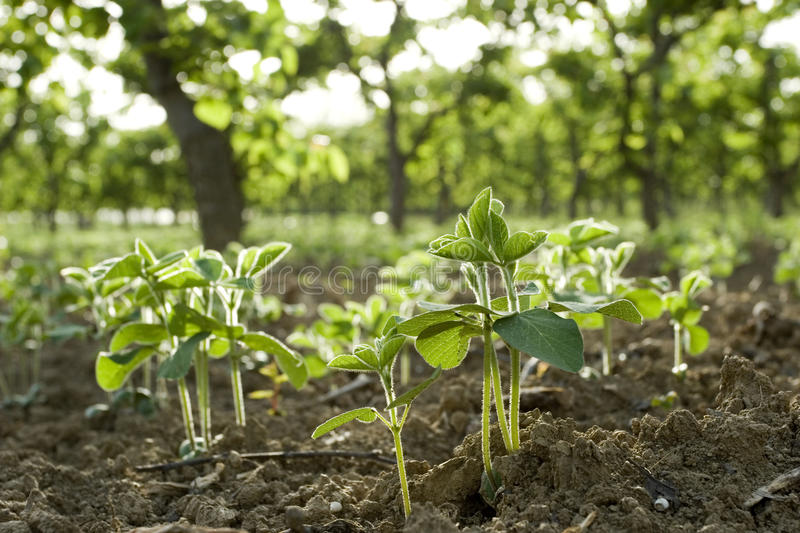 Beans seedling. Under trees in mixed-farming areas royalty free stock images