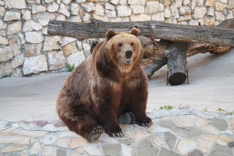 Bear / Бурый медведь. royalty free stock image