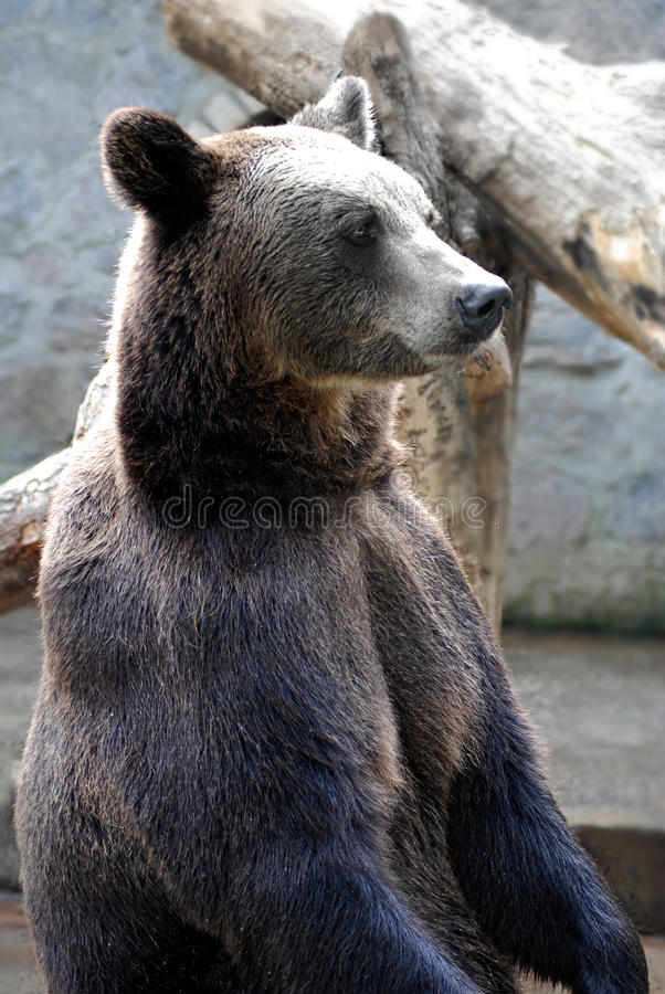 Download Bear stock photo. Image of mammal, wild, power, wildlife - 13037578