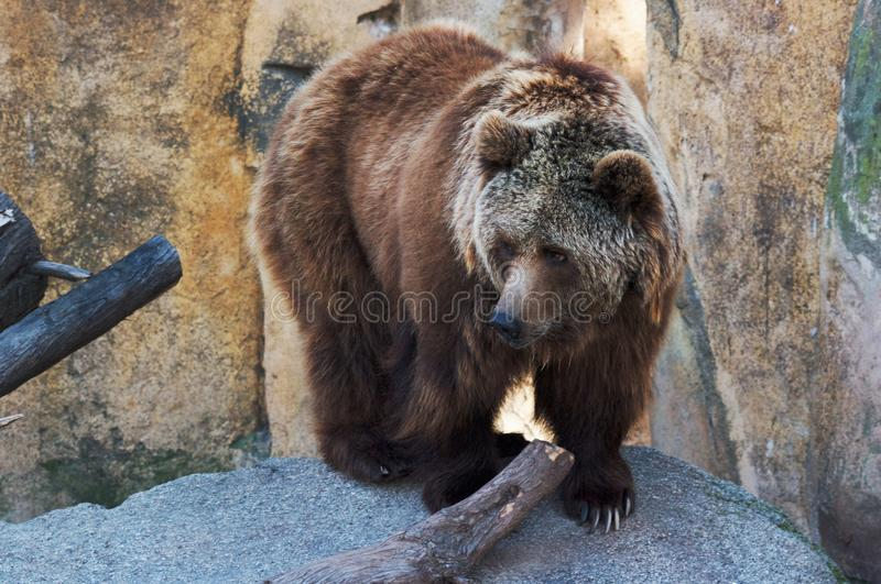 Bear stock photos