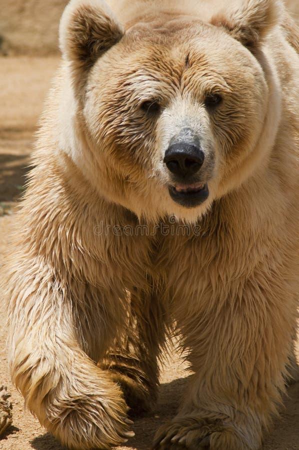 Free Bear Royalty Free Stock Photo - 14756915