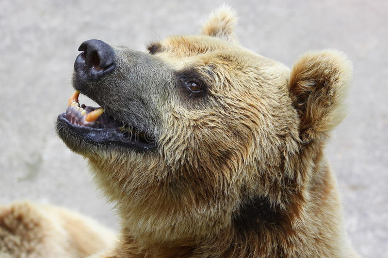 Download Bear stock image. Image of animal, field, spring, natural - 15601929