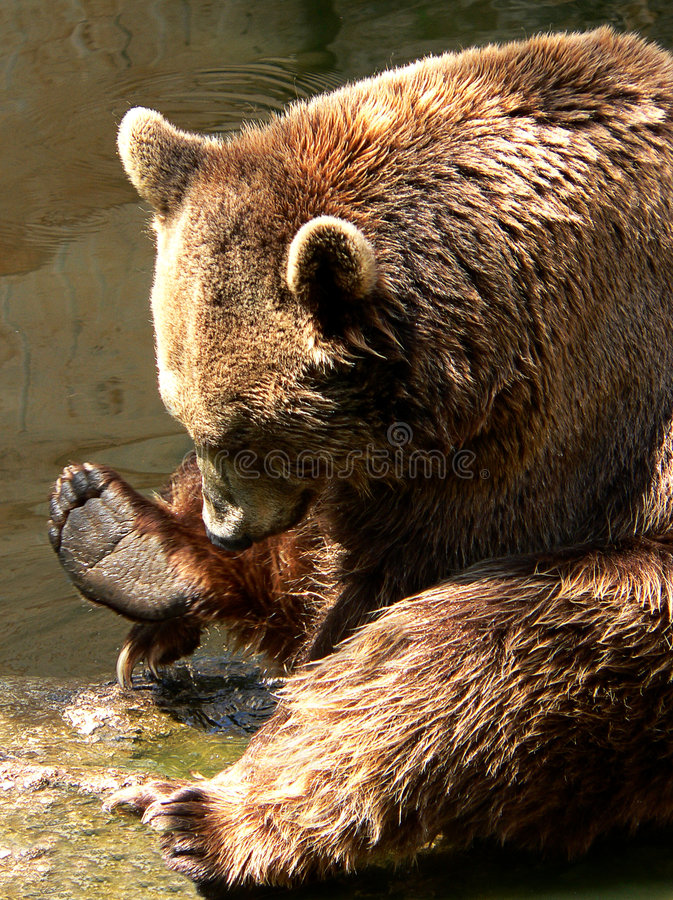 Download Bear stock photo. Image of mammal, intrigue, animal, brown - 171980