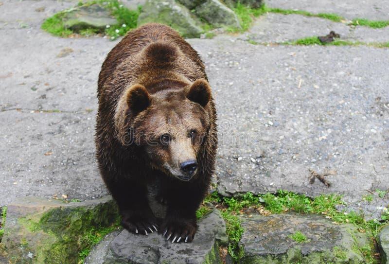Bear stock photo. Image of hunt, wildlife, natural, heavy
