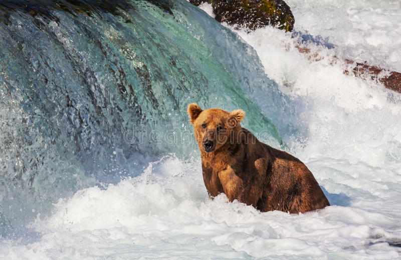 Bear on Alaska stock photography