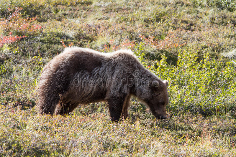 Bear in Alaska. Brown bears are very adaptable and like humans, they consume a wide variety of foods. Common foods include salmon, berries, grasses, sedges, cow royalty free stock photos