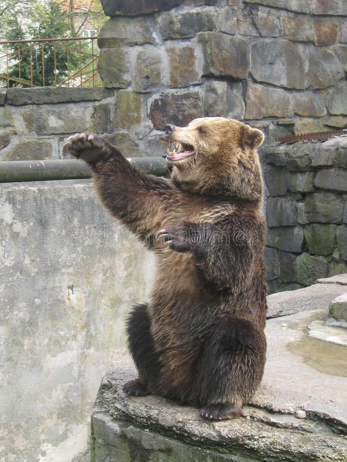 Bear asks sweets in the zoo royalty free stock photos