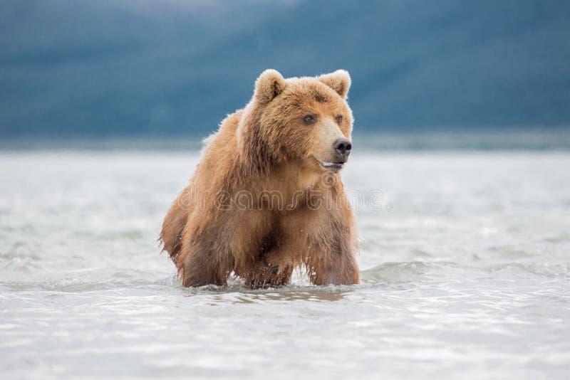 Bear attacks fish salmon. Bear looks for fish in water, Kuril lake, Kamchatka stock photography