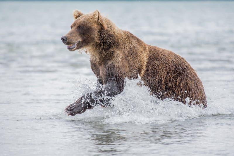 Bear attacks fish salmon. Bear looks for fish in water, Kuril lake, Kamchatka stock images
