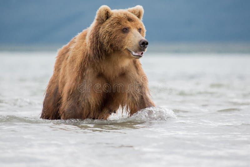 Bear attacks fish salmon. Bear looks for fish in water, Kuril lake, Kamchatka royalty free stock photo