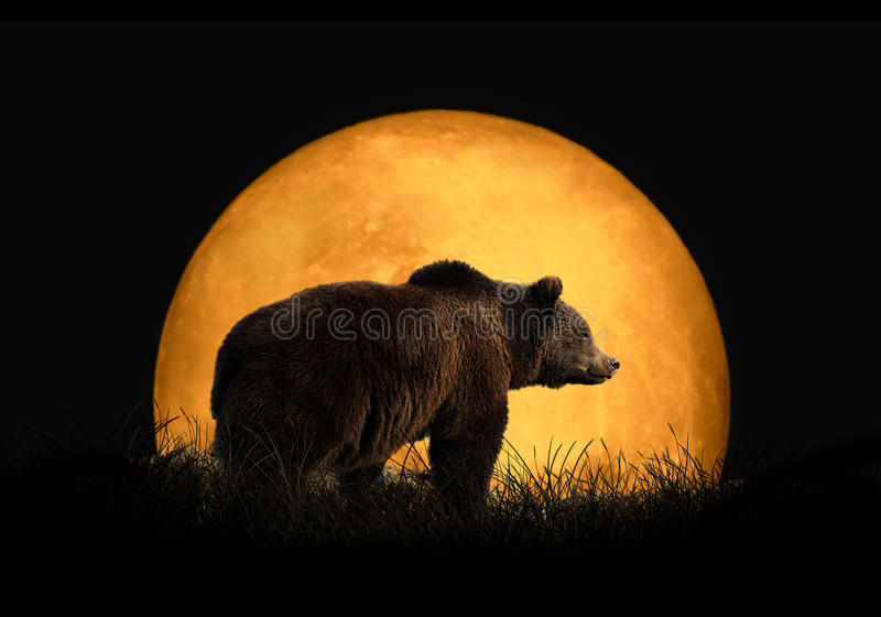 Bear on the background of red moon stock image