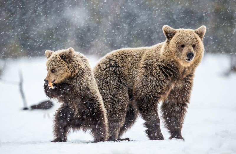 She-Bear and bear cub on the snow in snowfall. stock photo
