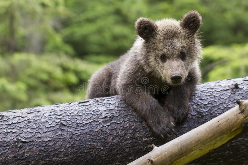 Bear on the belly in tree royalty free stock photography