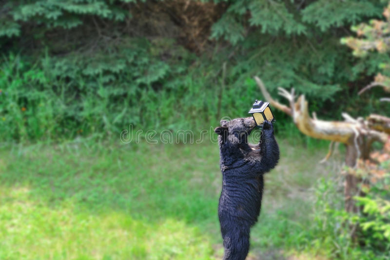 Bear at Bird Feeder. Black bear getting seed out of a bird feeder in a backyard. Gaussian blur filter applied to background so the eye is drawn into what the royalty free stock photography