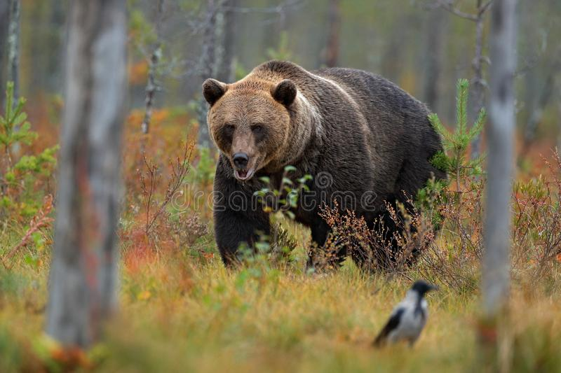 Bear with bird hidden in yellow forest. Autumn trees with bear. Beautiful brown bear walking around lake with fall colours. Danger royalty free stock photos