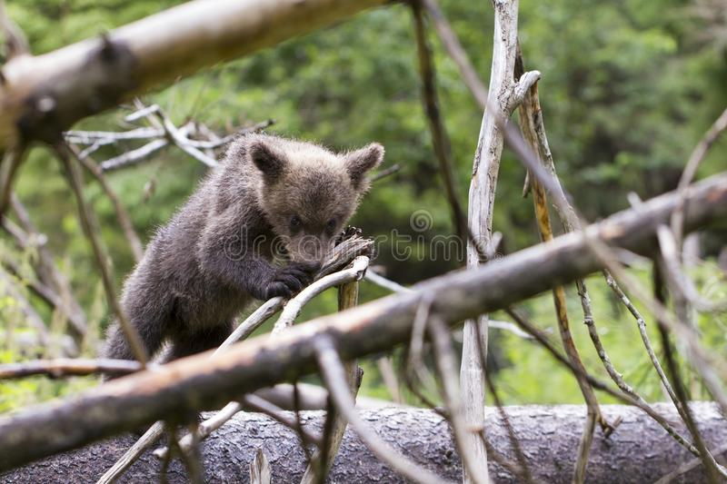 Bear biting on branch in thick forest royalty free stock photography