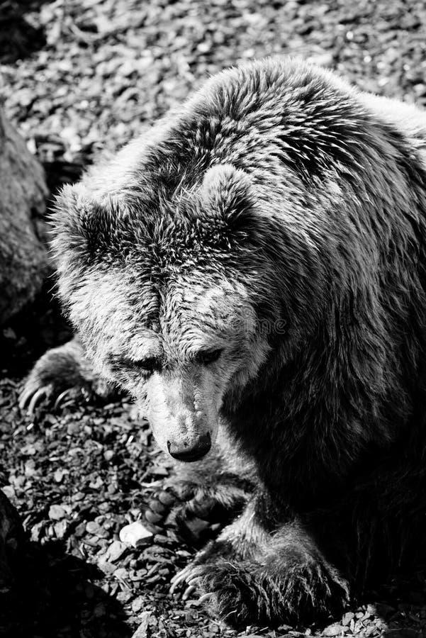 Bear black and white animals portraits. Bear - black and white animals portraits stock images