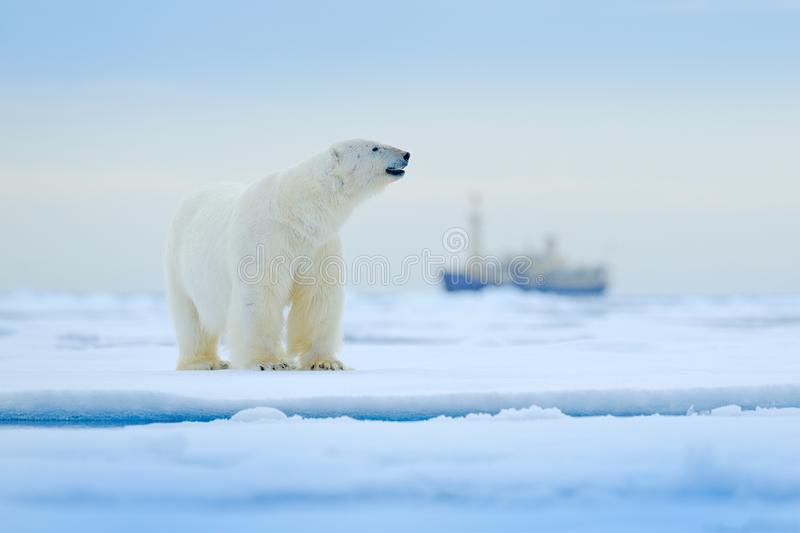 Bear and boat. Polar bear on drifting ice with snow, blurred cruise vessel in background, Svalbard, Norway. Wildlife scene in the. Nature. Cold winter with stock image