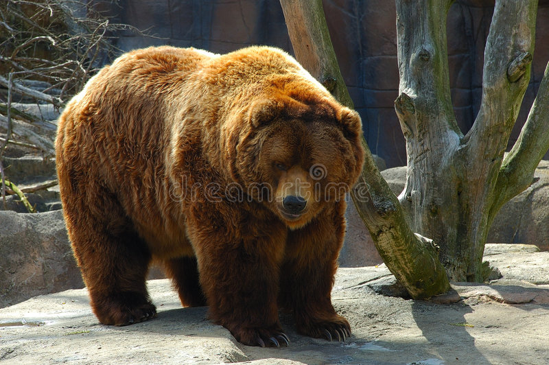 bear brown στοκ φωτογραφία