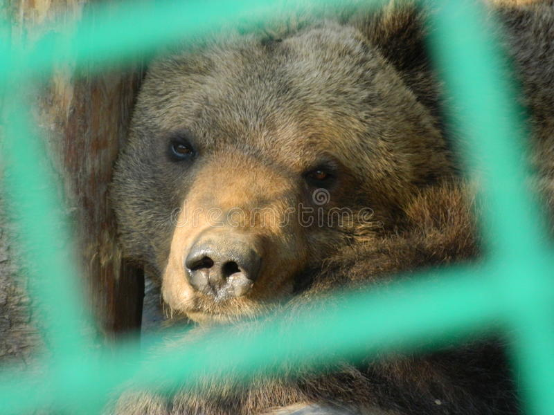 Bear in a cage stock images