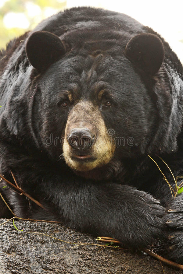 Bear. Close Up American Black Bear Sitting Face Front royalty free stock image