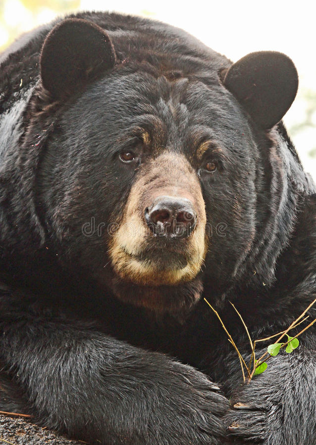 Bear. Close Up American Black Bear Sitting Face Front royalty free stock photos