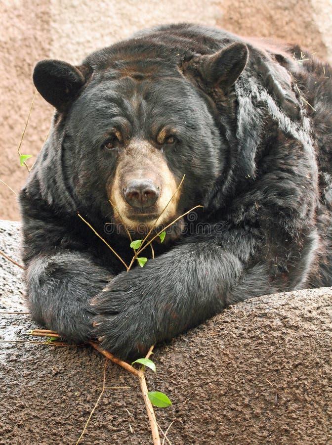 Bear. Close Up American Black Bear Sitting Face Front stock photos