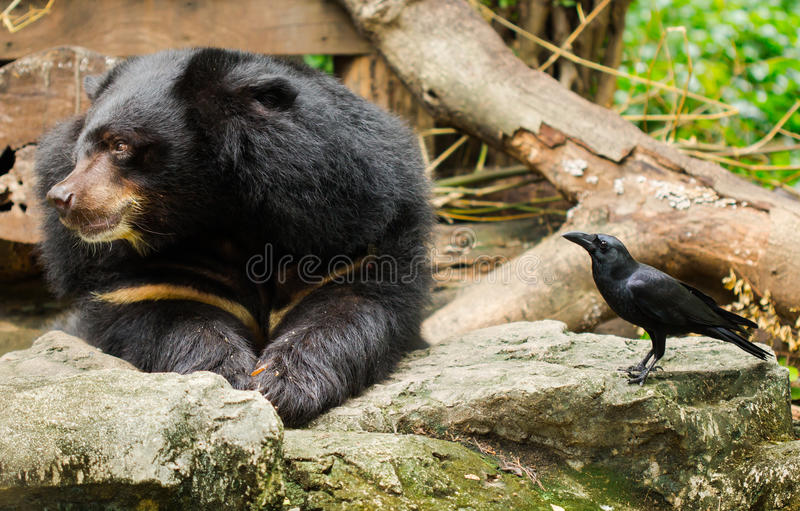 Bear and Crow. Bear and Crow exhibit within the Dusit Zoo stock photography