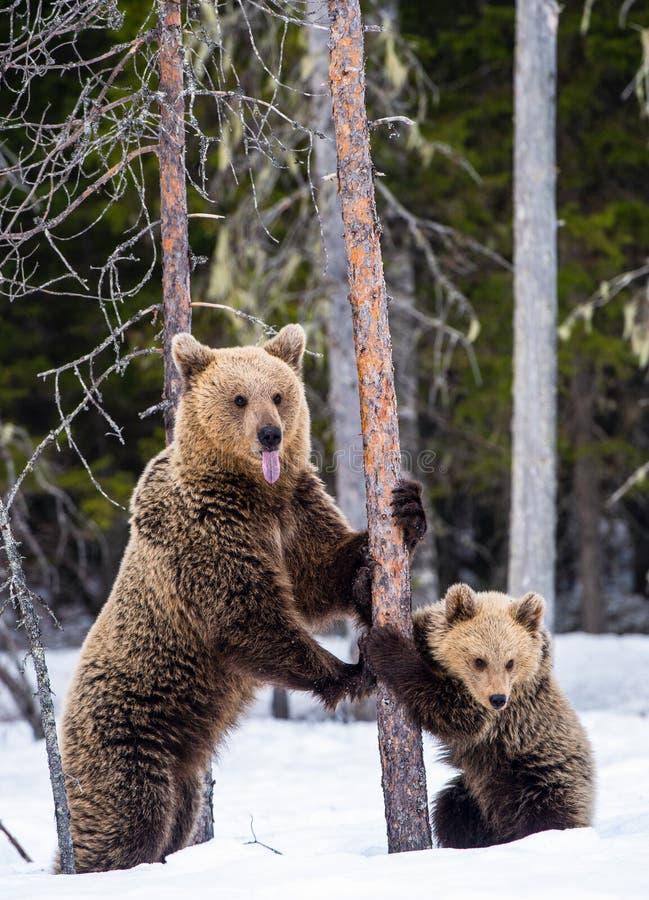 She-bear and cub. royalty free stock photos