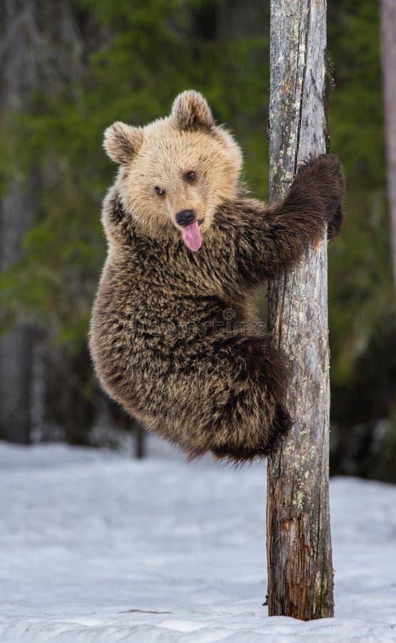 Bear Cub Climbing a Pine Tree royalty free stock images