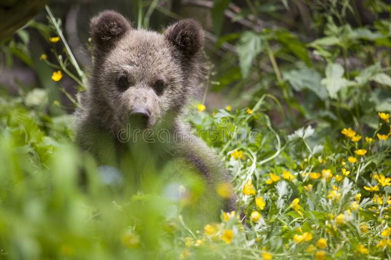 Bear cub in green yellow grass. Bear cub in green grass field with yellow flowers on sunny day looking at camera close-up stock photos