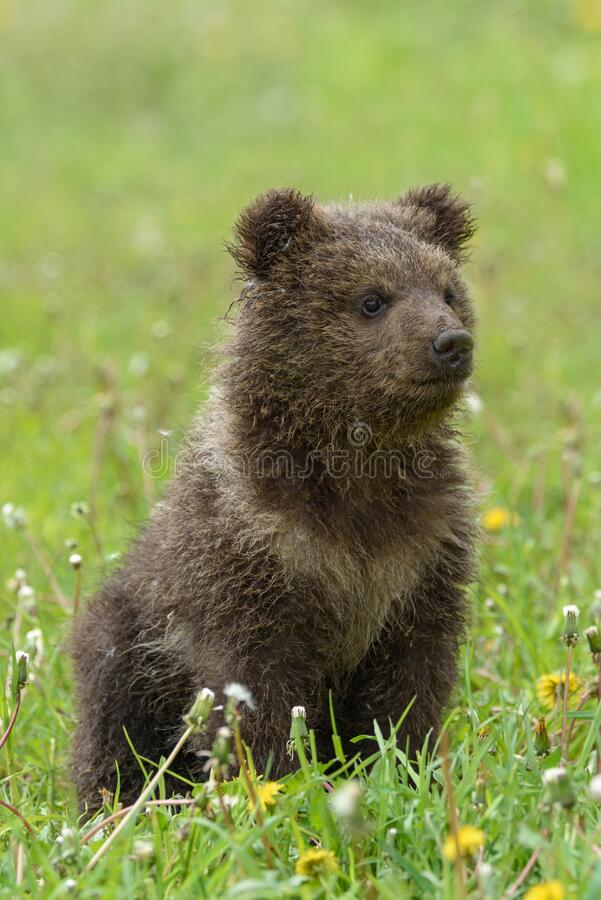 Free Bear Cub In Spring Grass. Dangerous Small Animal In Nature Meadow Habitat Royalty Free Stock Photo - 184040065