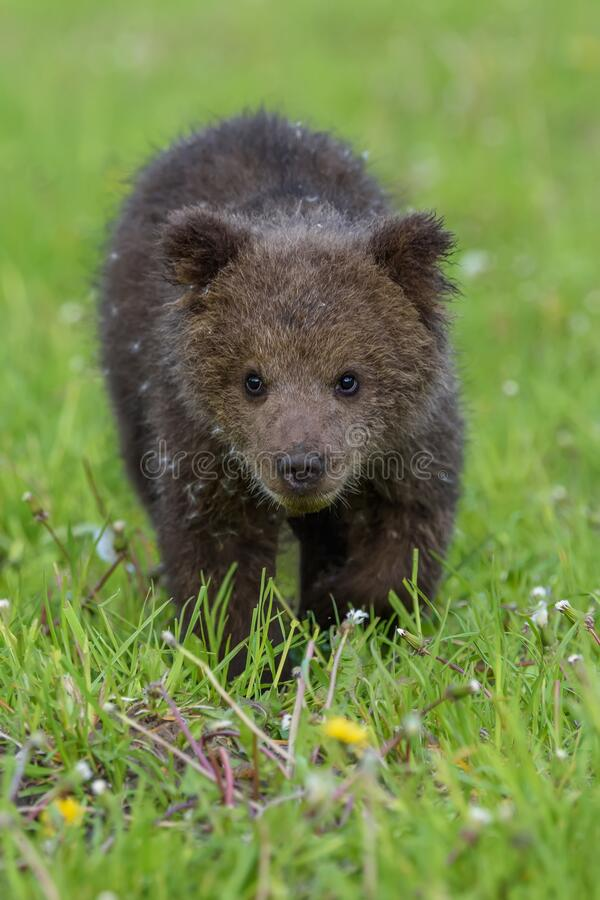 Free Bear Cub In Spring Grass. Dangerous Small Animal In Nature Meadow Habitat Stock Image - 184040071