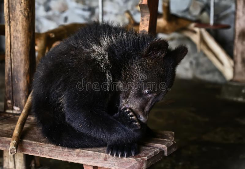 Bear cub in the mini-zoo suck at paw. A small tiny bear cub in a mini zoo. Teddy sucks his paw on the bench stock photography