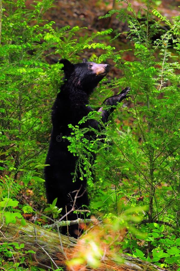 bear cub standing in shrubs royalty free stock photos