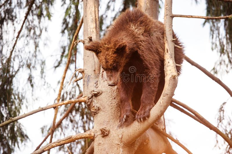 Bear cub on the tree. Adorable, alaska, animal, arctos, baby, background, black, brown, chill, cute, danger, evening, family, female, finland, forest, funny royalty free stock photo