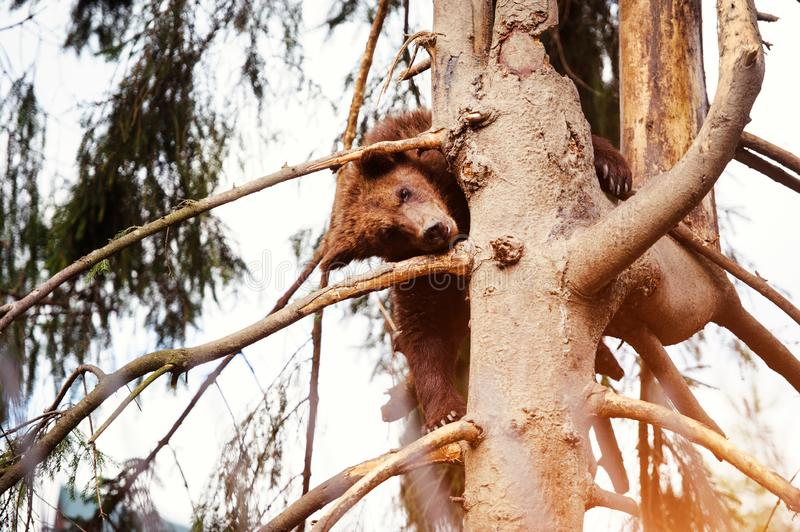 Bear cub on the tree. Adorable, alaska, animal, arctos, baby, background, black, brown, chill, cute, danger, evening, family, female, finland, forest, funny stock images