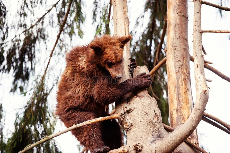 Bear cub on the tree. Adorable, alaska, animal, arctos, baby, background, black, brown, chill, cute, danger, evening, family, female, finland, forest, funny royalty free stock images