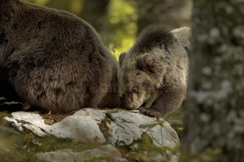 Bear cub verkennen met moeder stock foto's