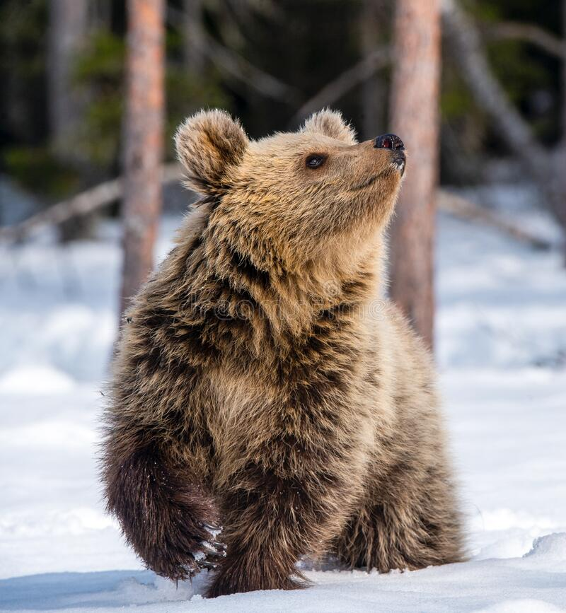 Bear cub in winter forest. stock images