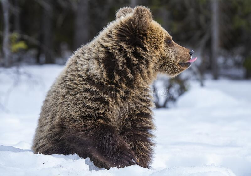 Bear cub in winter forest. stock image