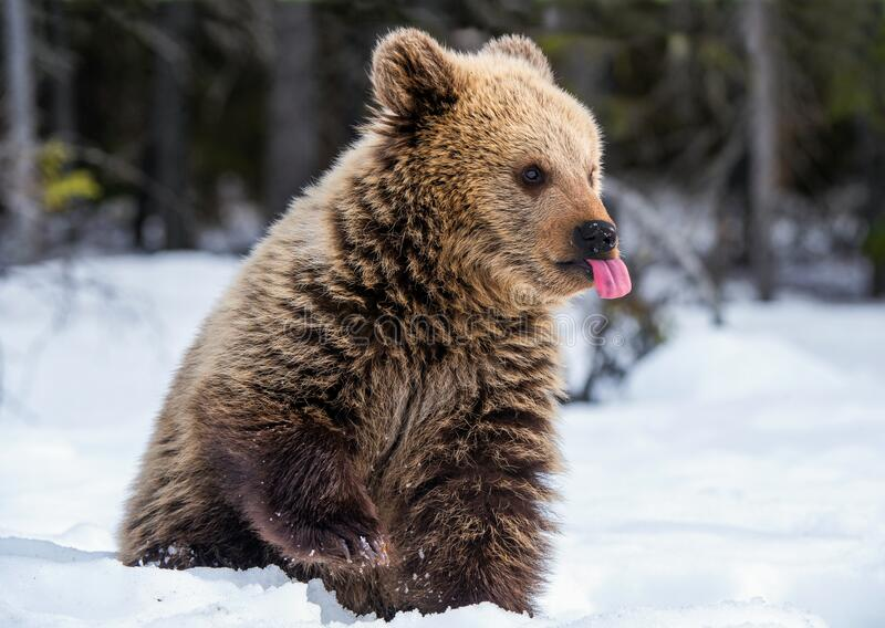 Bear cub in winter forest. royalty free stock images