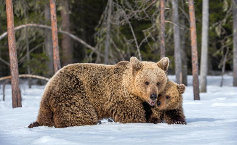 She-bear and bear cub in winter. stock images
