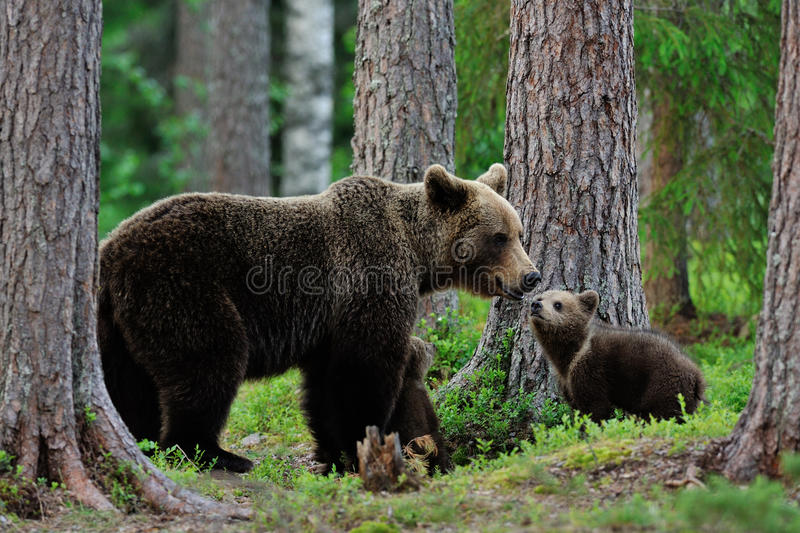 Bear with cubs in the forest. At evening