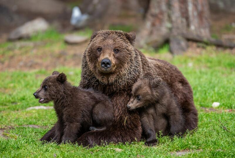 She-bear with cubs in a forest glade. White Nights. stock images