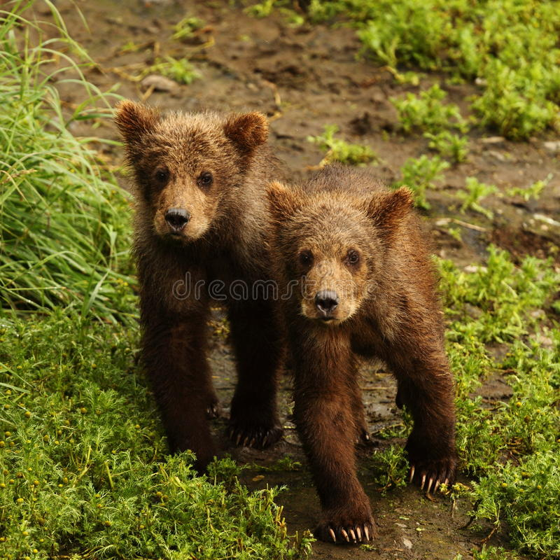 Bear cubs in katmai royalty free stock photo